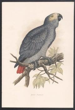 Grey Parrot, Bird Chromolithograph, circa 1885