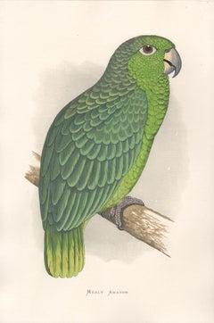 Mealy Amazon, Antique Bird Parrot Chromolithograph, circa 1885