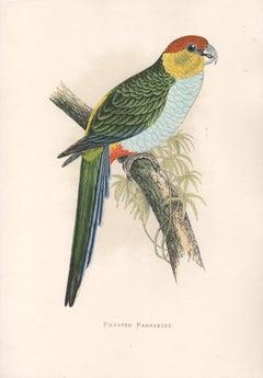 Pileated Parrakeet, Antique Bird Parrot Chromolithograph, circa 1885