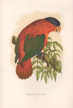Purple Capped Lory, Antique Bird Parrot Chromolithograph, circa 1885