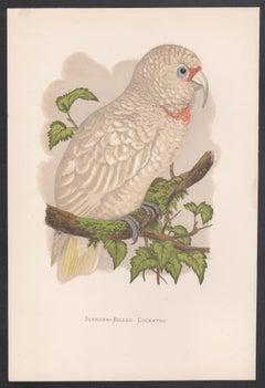 Slender-Billed Cockatoo, Bird Chromolithograph, circa 1885