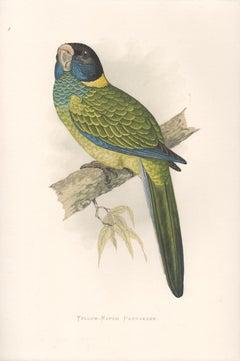 Yellow Naped Parrakeet, Antique Bird Parrot Chromolithograph, circa 1885