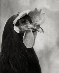 Minorca Black Hen