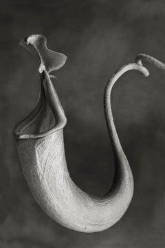 Nepenthes Miribilis