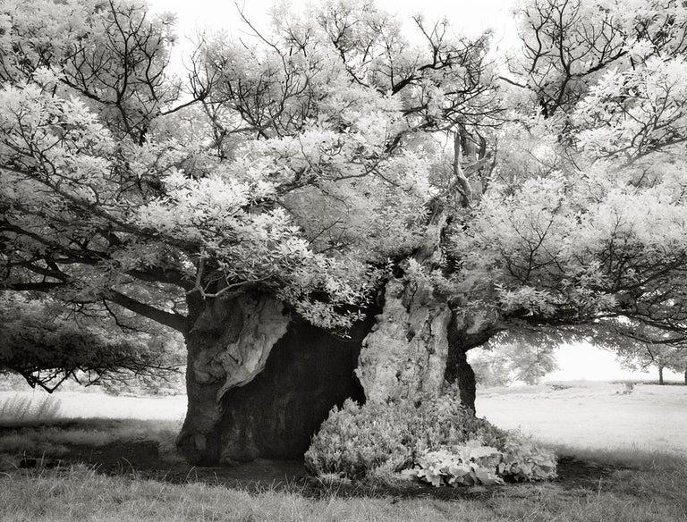 Beth Moon Black and White Photograph - Queen Elizabeth Oak