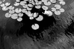 Lily Pond: Black & White Landscape Photo of Flowers on Black Water