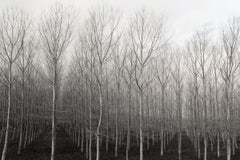 Trees in Rows (Black and White Archival Inkjet Print of a Birch Tree Forest)