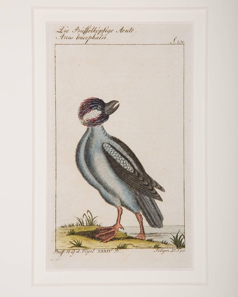 18th Century Bird Engravings on Paper Audubon Style by Francois-Nicolas Martinet  Group #2