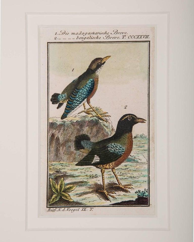 Bird Engravings on Paper Audubon Style by Francois-Nicolas Martinet  Group #2 3