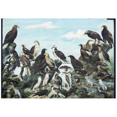 Birds of Prey, Vintage Bird Wall Chart