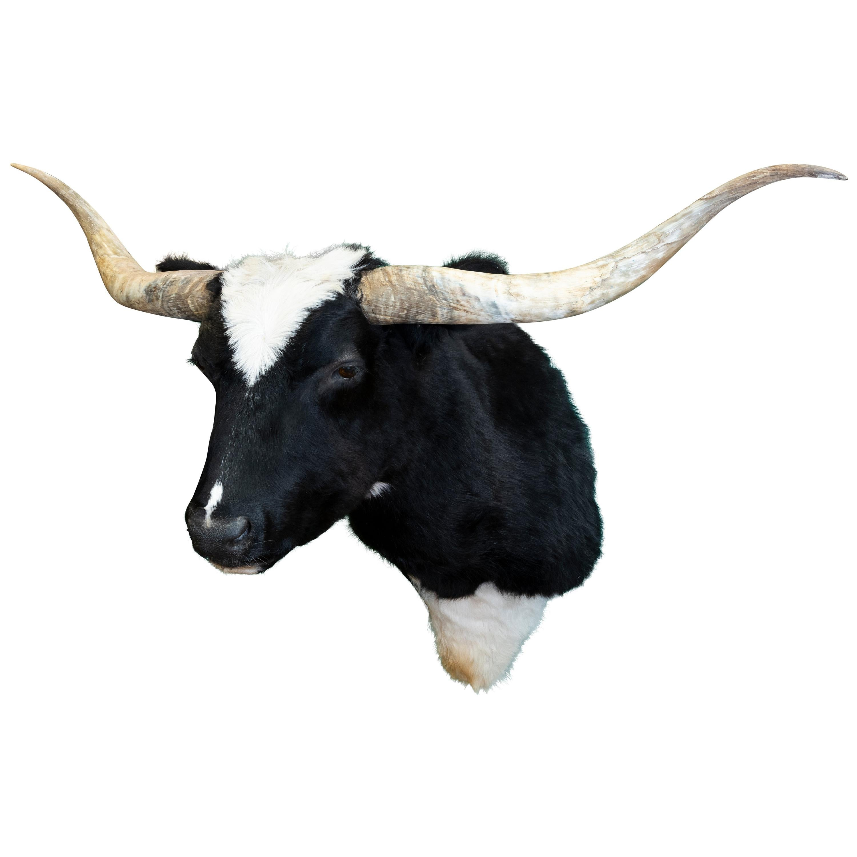 Black and White Taxidermy Longhorn Mount