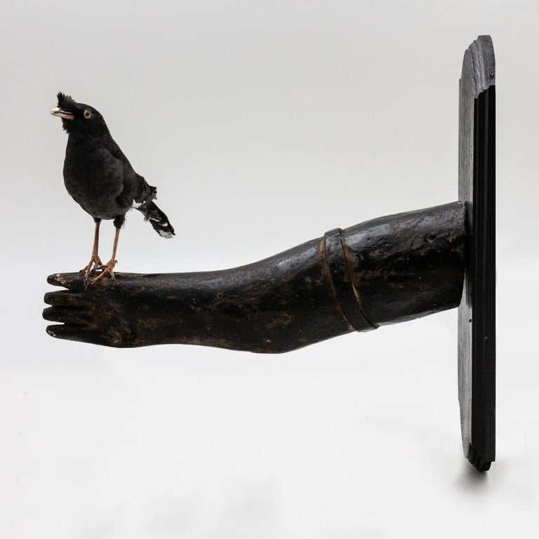North American Black Bird Mounted on Antique Black Wood Arm For Sale