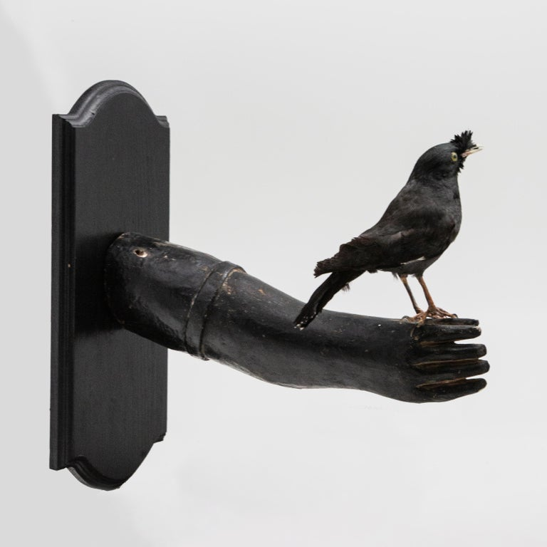 20th Century Black Bird Mounted on Antique Black Wood Arm For Sale