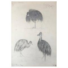 Black Cassoary Drawing, Guido Righetti, 1919