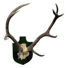 Black Forest Deer Trophy from Salem, Germany, Berstein, 1957