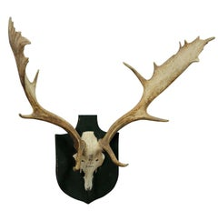 Black Forest Fallow Deer Trophy from Salem, Germany, Bodmann