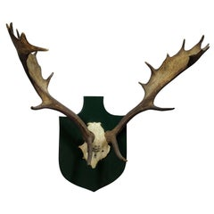 Black Forest Fallow Deer Trophy from Salem, Spain, 1984