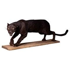 Black Leopard 'Panthera pardus' Taxidermy, I/A-cites FR1803800138-K dd  30/08/20