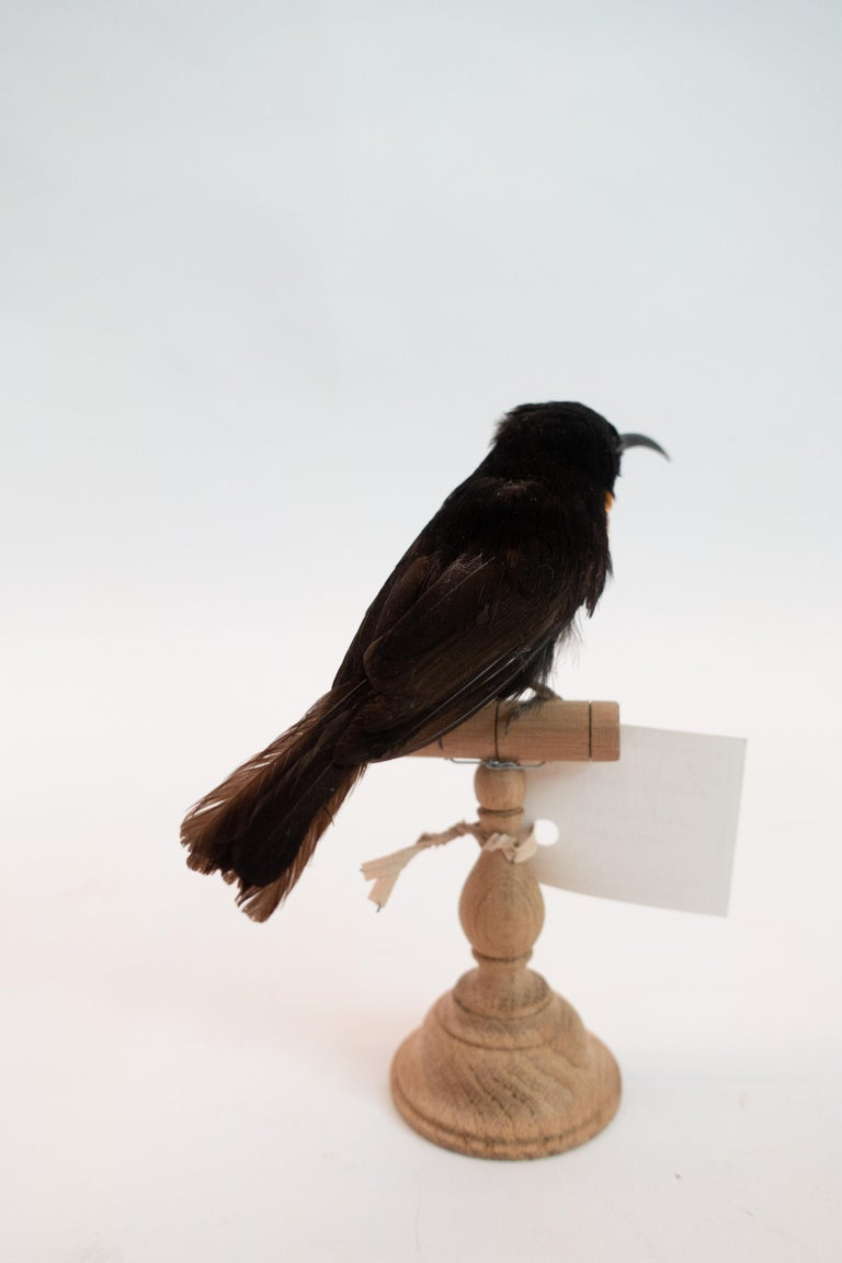 French Black Sunbird Mounted Taxidermy Specimen For Sale