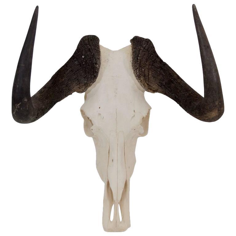 Black Wildebeest Skull and Horns For Sale