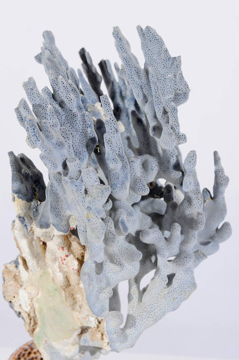 Blue Coral Madrepora Natural Sculpture on a Stone Capitel For Sale 2