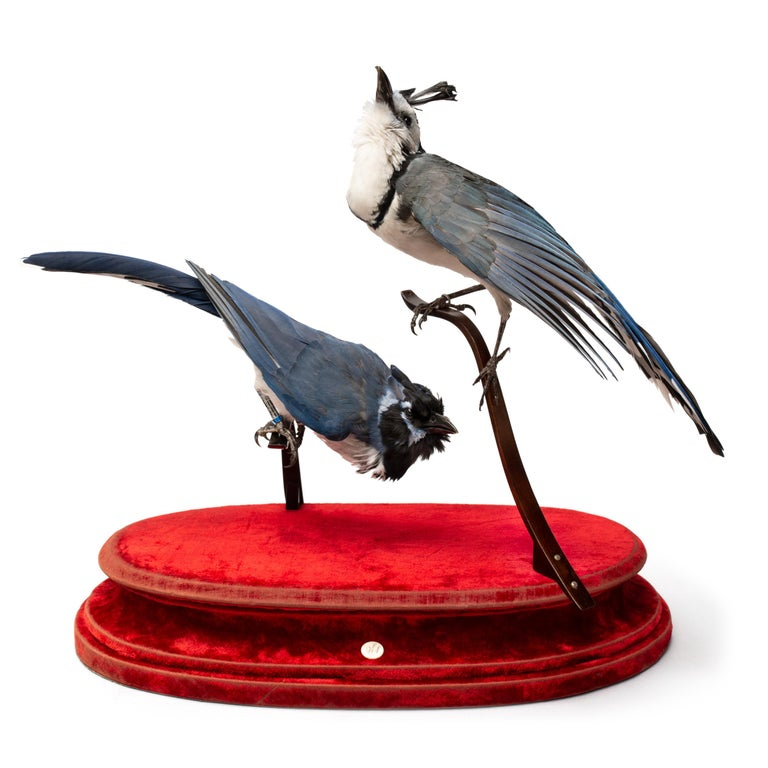 Blue Jay Fine Taxidermy by DS&vT 6