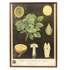 Botanical Lithograph made in the thirties