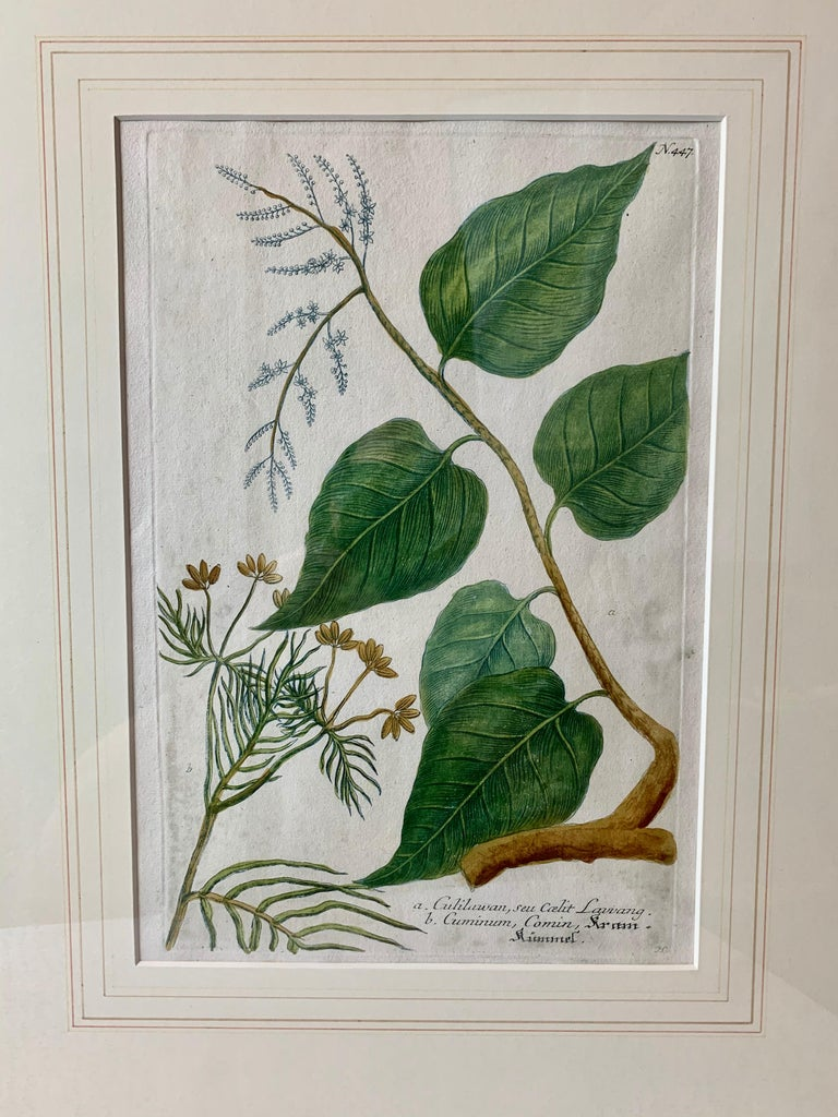 Botanical by Johann Wilhelm Weimann (1683-1741) published this print