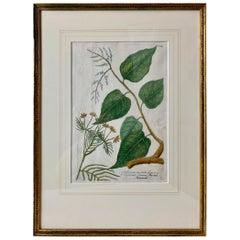 "Johann W. Weinmann""s Botanical Mezzotint of ""Gulilawan"", pl. #447,  1737-1745"