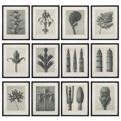 Botanical Photogravures by Karl Blossfeldt, Berlin 1928, Set of 12