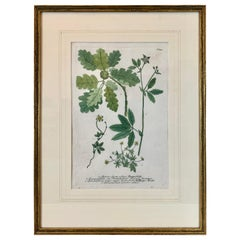 "Botanical Print #347 by Weinmann from ""Phytanthoza Iconographia"""