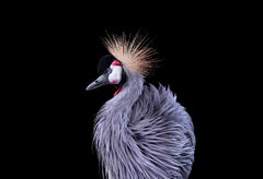 African Crowned Crane #8