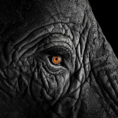 African Elephant #12