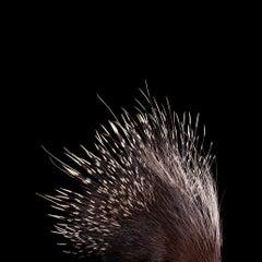 African Porcupine #2