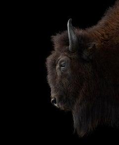 Buffalo #2