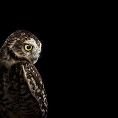 Burrowing Owl #2