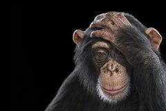 Chimpanzee #2 (small) by Brad Wilson  - Animal portrait photography
