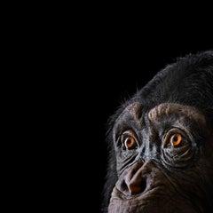 Chimpanzee #9