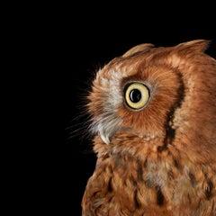 Eastern Screech Owl # 4