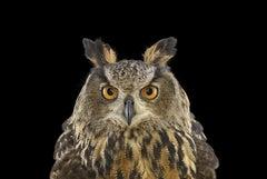 Eurasian Eagle Owl #1, St Louis, MO by Brad Wilson - Animal Photography