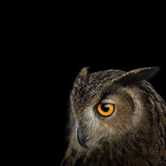 Eurasian Eagle Owl #5