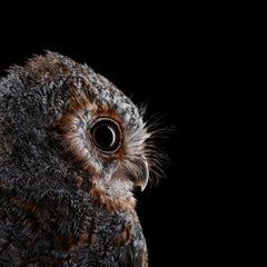 Flammulated Owl #5