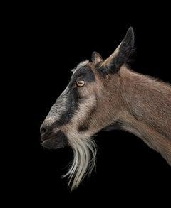 Goat #1