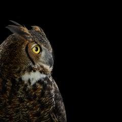 Great Horned Owl #5