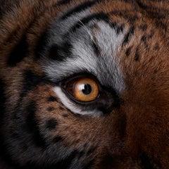 Tiger #9, Los Angeles, CA, 2016