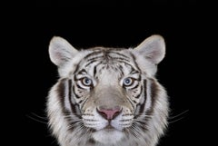 White Tiger #4, Los Angeles, CA, 2010 (Animal Portrait)
