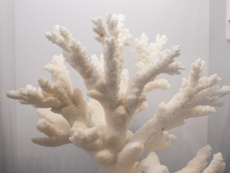 Contemporary Branch Coral Mounted For Sale