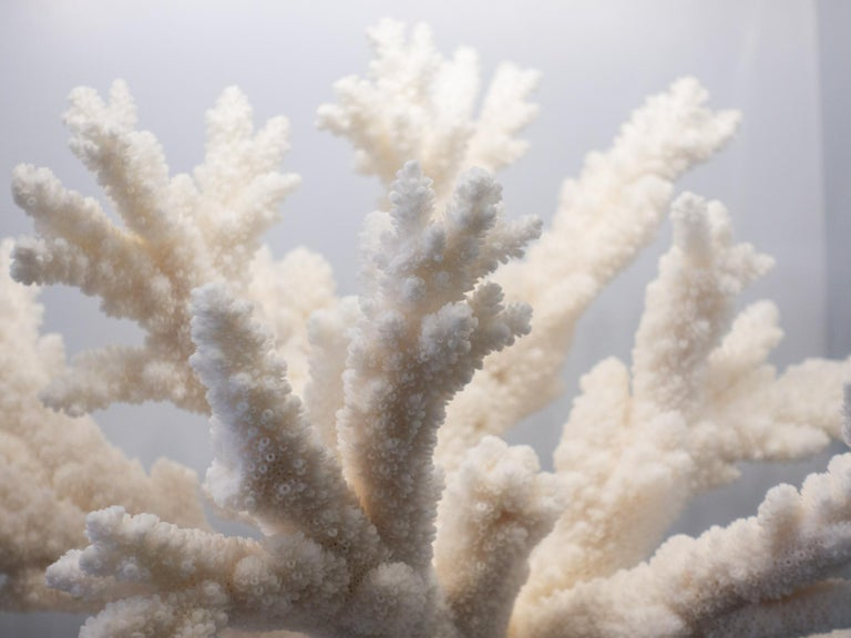 Branch Coral Mounted For Sale 1