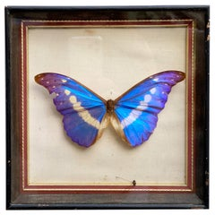 Brazilian Royal Butterfly in Taxidermy from the 60s