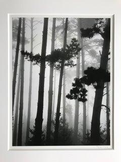 Monterey Pines 1962 Vintage Photograph